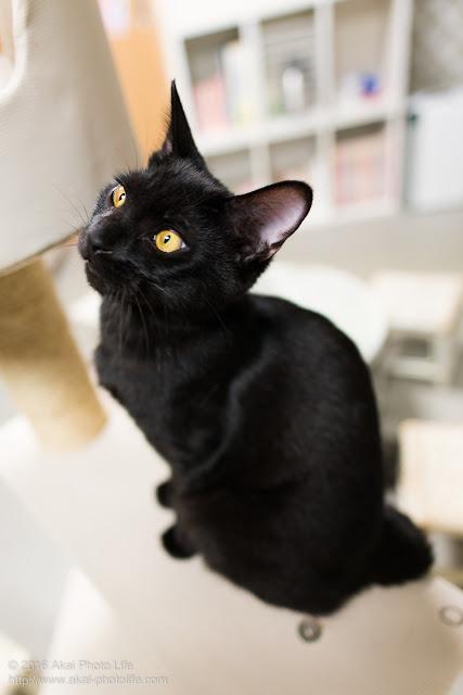 国分寺シェルターにいた毛艶が良く目が綺麗な黒猫を斜め上から見下ろして撮影した写真