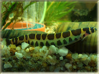 Kuhli Loach Fish Pictures