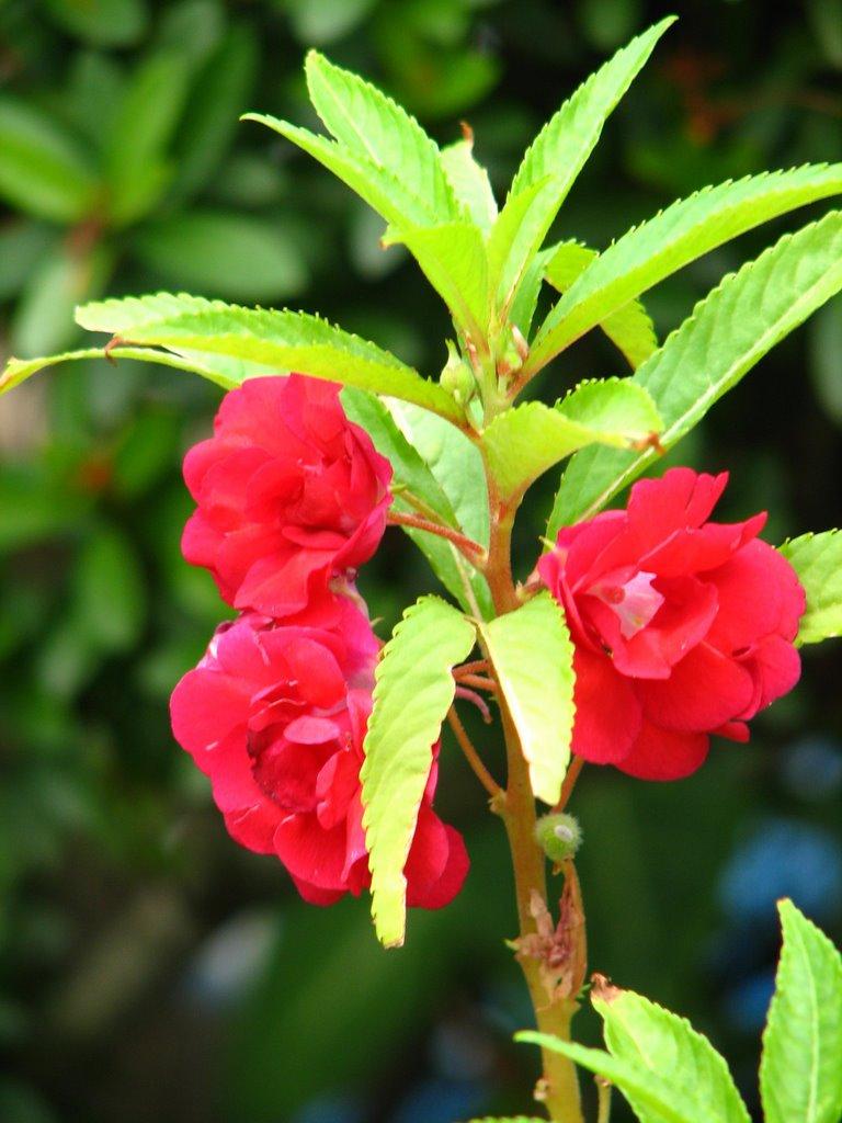 Bóng Nước là loài hoa khá hiếm tại Việt Nam