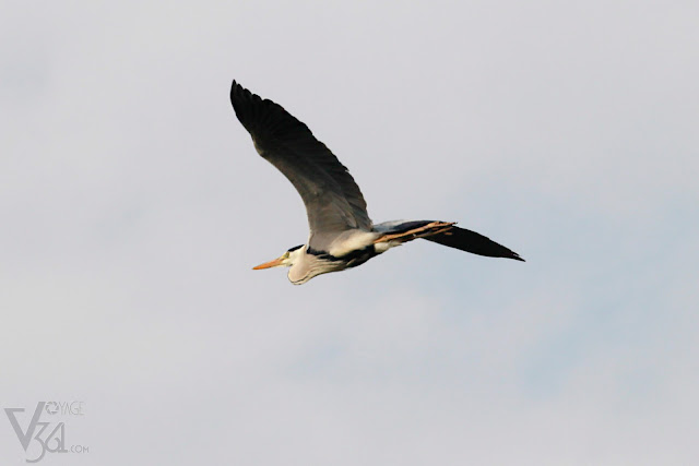 Grey Heron caught in flight