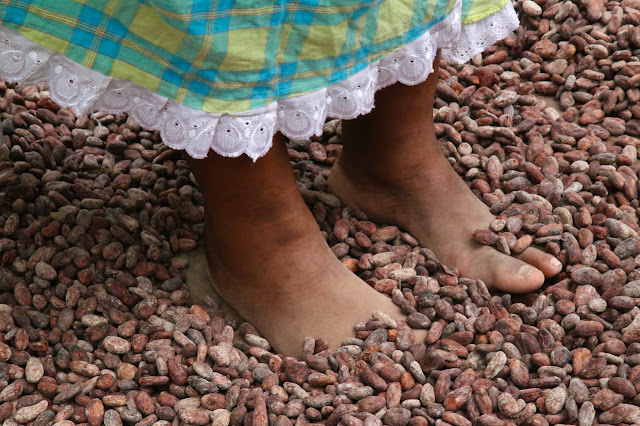 cacao beans being dried by bare feet, Belmont Estate, Grenada