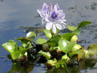 Jacinthe d'eau - Eichhornia crassipes