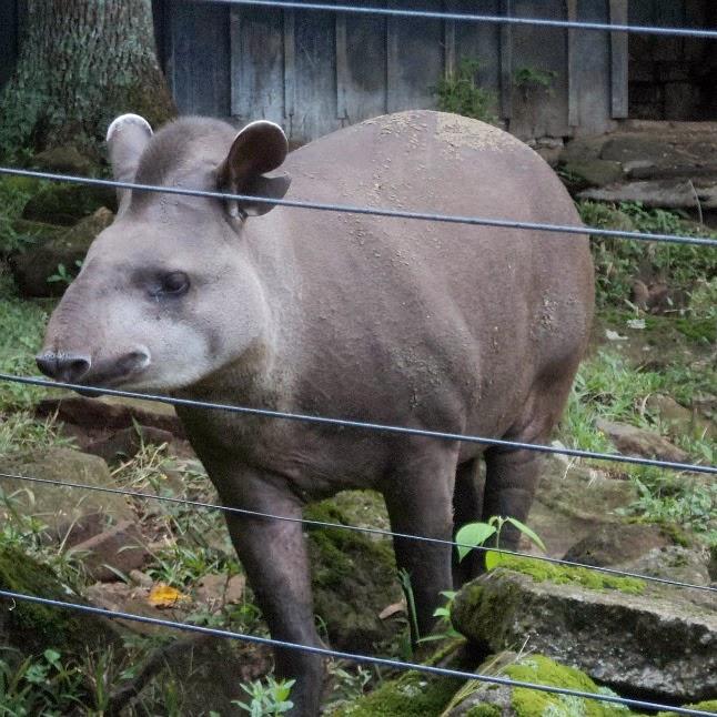 Anta Esperando Comida no Zoológico