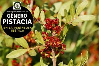 El género Pistacia son arbustos o arboles que pueden llegar a hasta 25 m de altura, ricos en sustancia resinosas