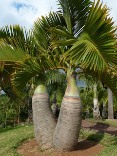 Hyophorbe lagenicaulis - Palmier bonbonne