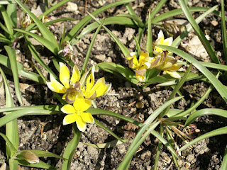 Tulipe dasystemon - Tulipa dasystemon