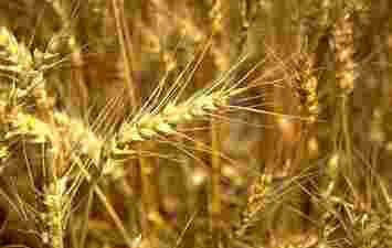 Dibujo de la Parábola 3 del Sembrador (planta seca no dió fruto)