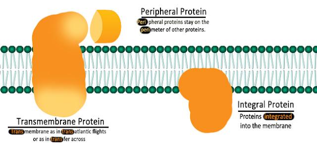 protein integral dan ekstrinsik