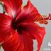 गुडहल (hibiscus oil) के फूलों का तेल कैसे बनाये | gudhal ke phoolo ka tel banane ki vidi.