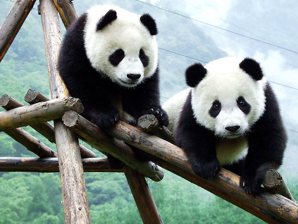 Unique Wallpaper: Amazing Pandas