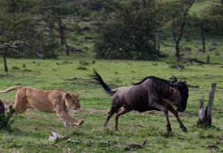 Lions hunting wildebeests in Southern Africa