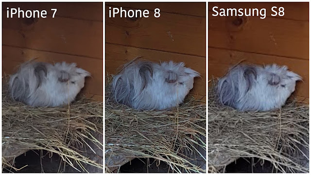 3 zoomed in images of a long haired guinea pig on straw