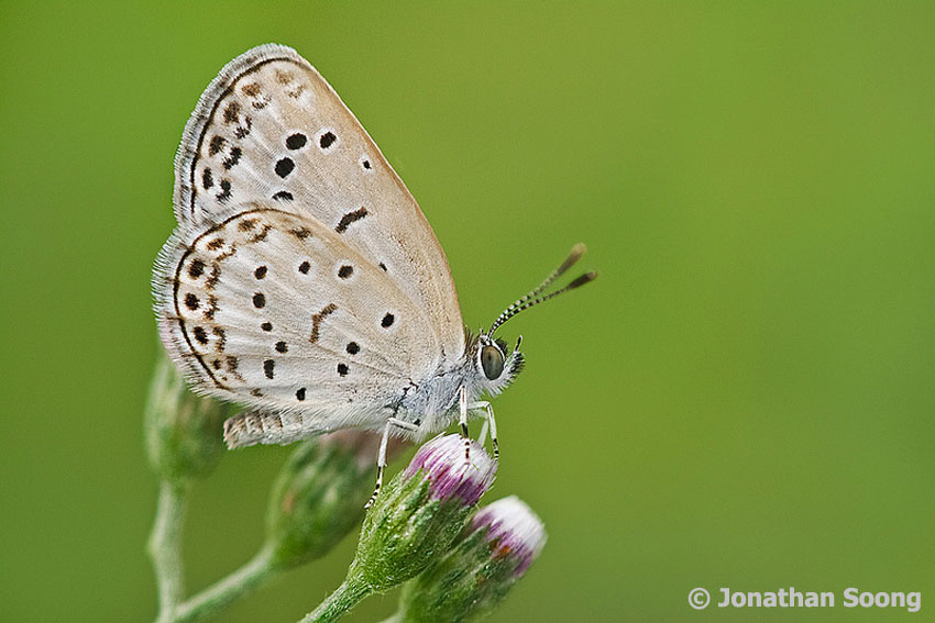 Butterflies of Singapore: Grass Blues of Singapore