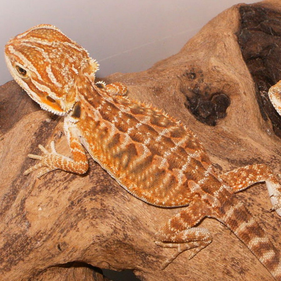 leatherback bearded dragon - Types of Bearded Dragons » Learn Different Types Colors & Species