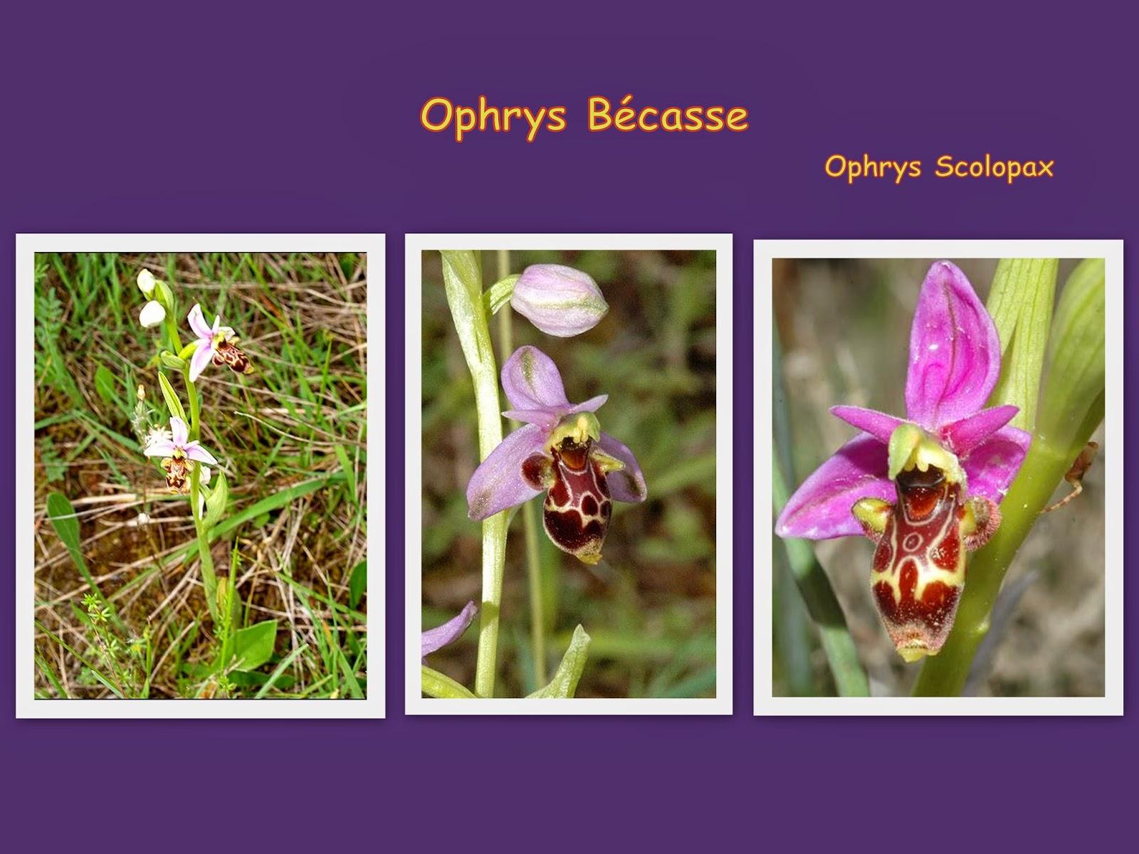 Randomilpas Les Orchidees