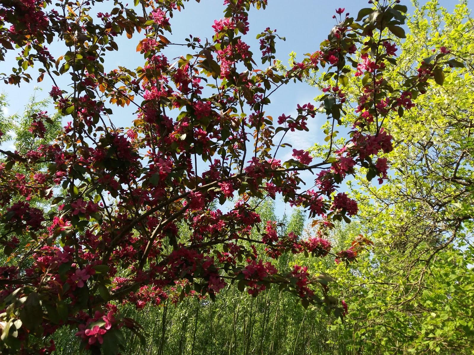 rød paradisæbletræ