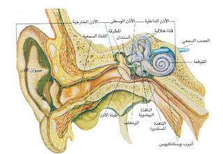مما تتكون الأذن عند الانسان؟