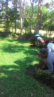 Rumput gajah mini kantor PDAM wonokitri surabaya dari lahan kita tahun 2021