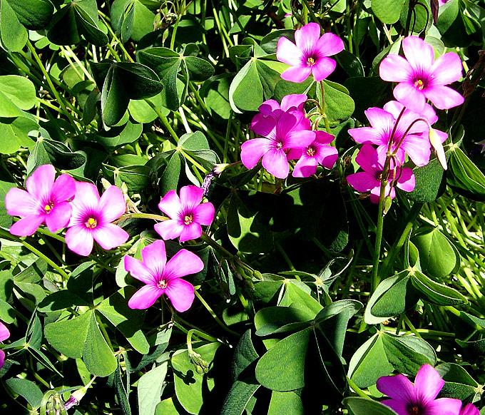 Fiori 5 Petali Rosa.Hortus Italicus Oxalis Floribunda Lehm