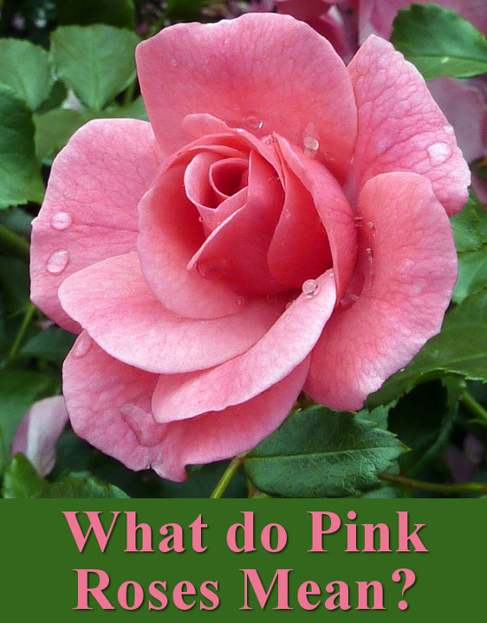 What do pink rose flowers mean and symbolise meaning language of flower Valentines day Weddings occasions