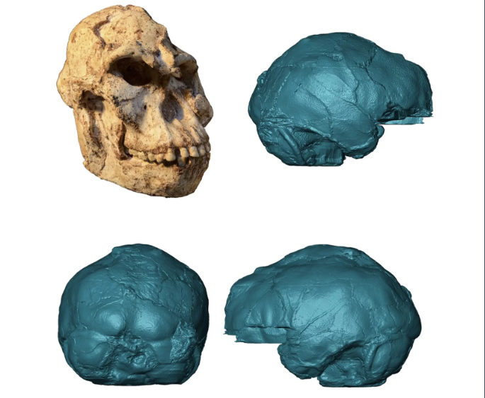 Cráneo de Little Foot y recreación del molde interno de su cerebro. Foto: M. Lotter and R.J. Clarke/Wits University