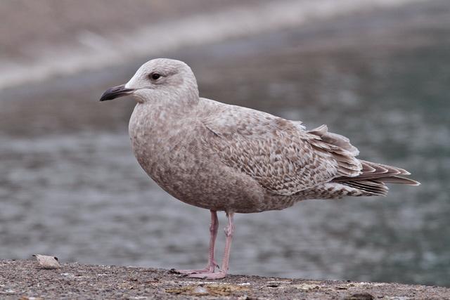 12/8 – Thayer's Gull, Windsor | Flight of the Scrub-Jay |Thayers Gull