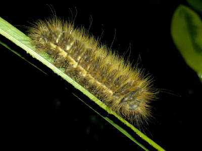 Decachorda caterpillar