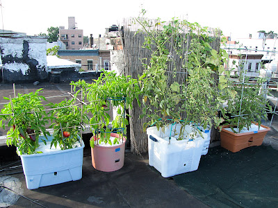 Rooftop Vegetable Garden 2011