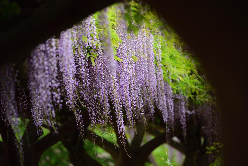 松任グリーンパークの藤の花