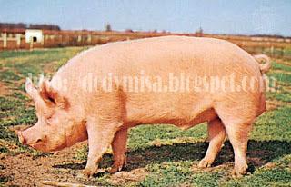 95+ Gambar Babi Landrace Terlihat Keren