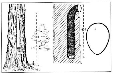 Trepador gigante Xiphocolaptes major
