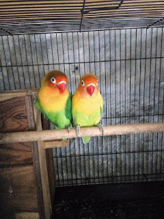 Penyebab Lovebird Tidak Mau Kawin