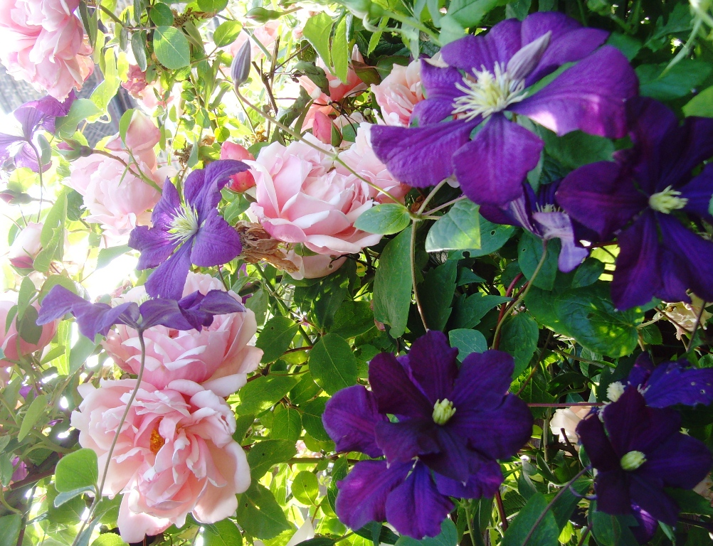 Roses In Garden: THE BASKETRY GARDEN: Roses Grow On You