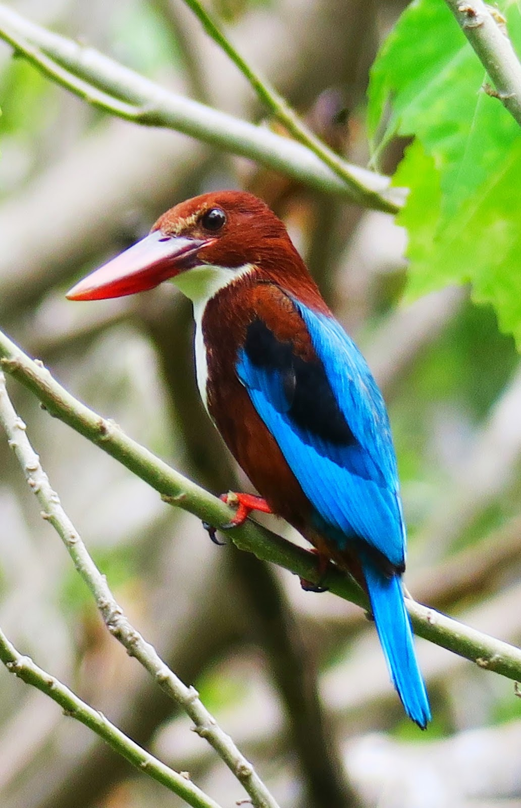 Picture of a white throated kingfisher.