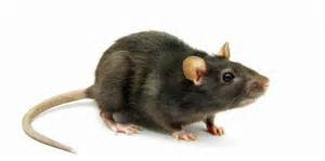 Tikus Masuk Rumah