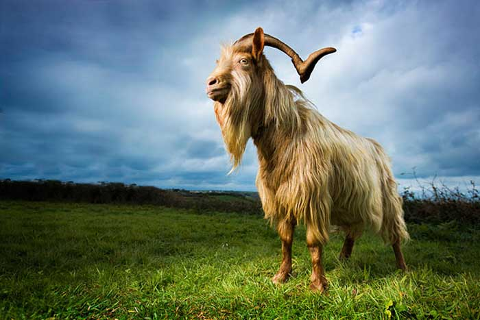 Billy goats urinate on their own heads
