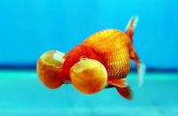 Jenis Ikan Koki mata besar