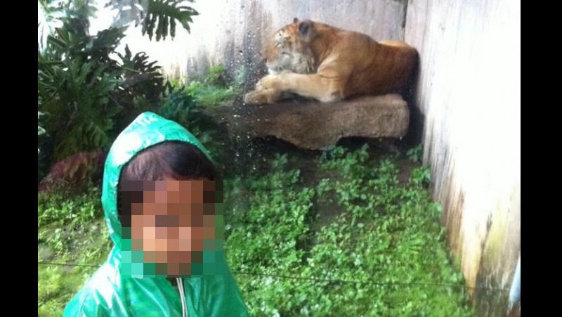 Ilustrasi bocah berfoto dengan harimau di Jatim Park II