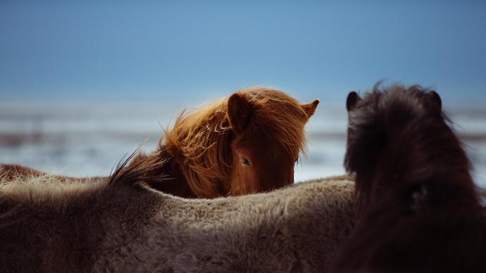 Wallpaper: Horses in Iceland