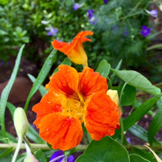 Orange Edible Flower: Nasturtium
