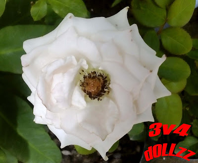 Mawar putih. White Rose.