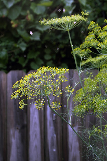 garden, dill, dill flowers, summer, Anne Butera, My Giant Strawberry