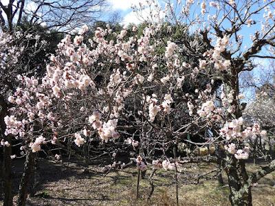 大阪府枚方市・意賀美神社の梅林