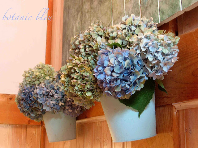 blue hydrangeas dry to various shades of green