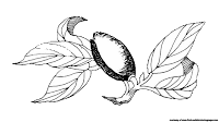 almond illustration images black and white