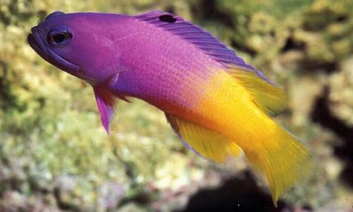 Gramma Brasiliensis - Ikan Brazilian Basslet