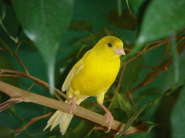 Какие канарейки живут на Канарских островах?