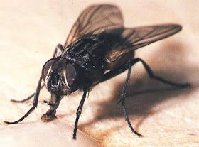 Las moscas son asquerosas y las detesto