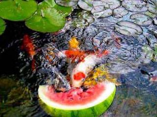Buah buahan untuk ikan koi