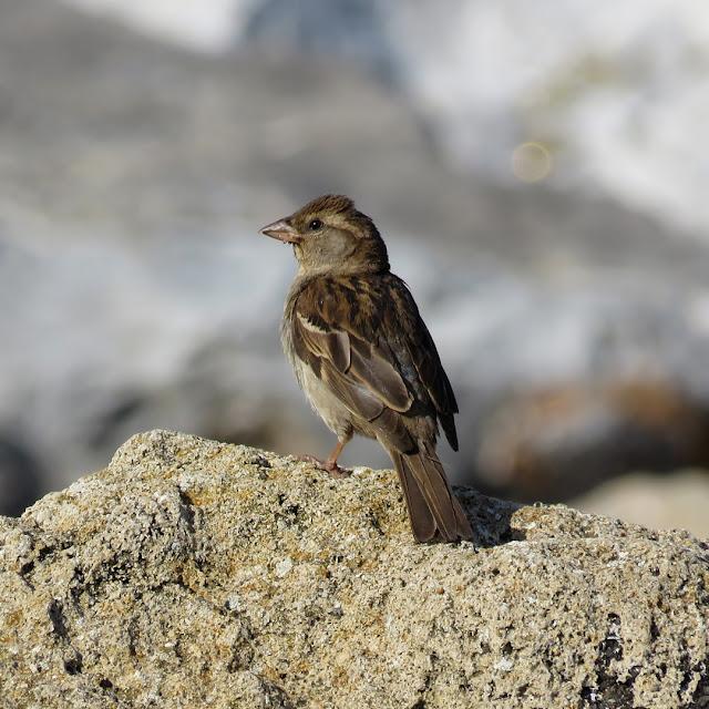 Sparrow on the rocks by the sea, Porto Mediceo, Livorno